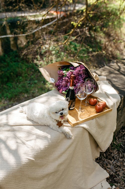 White Long Coated Small Dog on Brown Wooden Tray