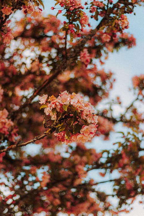 Cherry blossom tree with fragrant flowers in park
