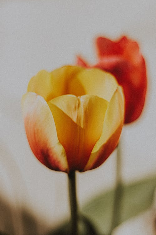 Blossoming yellow and red flowers with shades on tender petals in sunlight on blurred background