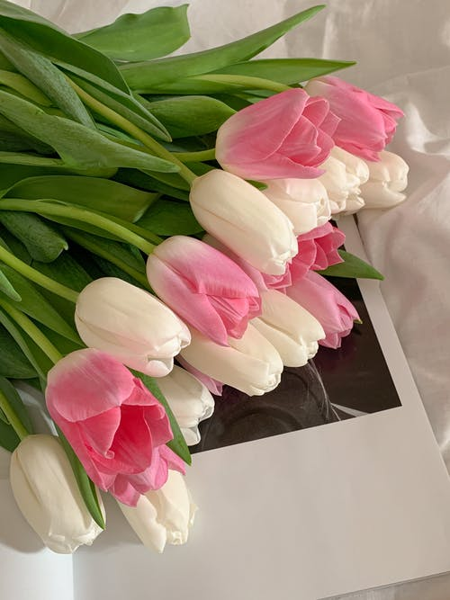 Close-Up Shot of White and Pink Tulips