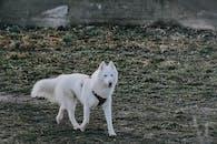 White Wolf Walking on Green Grass Field