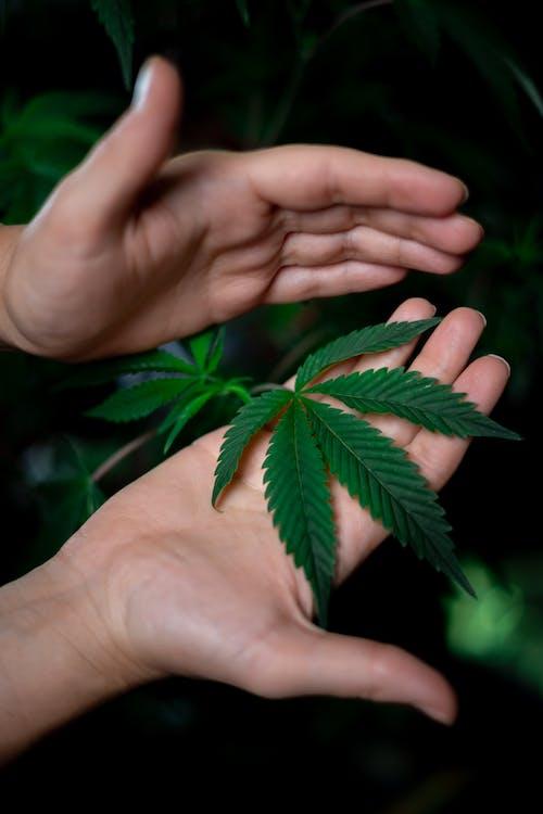 Gratis stockfoto met broeikas, cannabis boerderij, cannabis cultuur