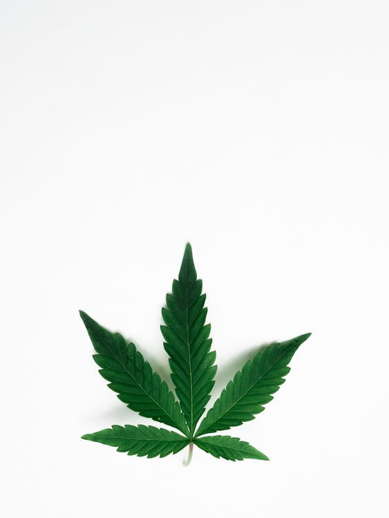 Photo of Cannabis Leaves on White Background
