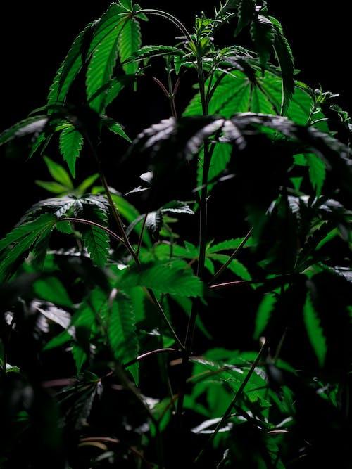 印度大麻, 塗料, 增長 的 免費圖庫相片