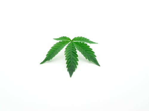 Photo of Cannabis on White Background