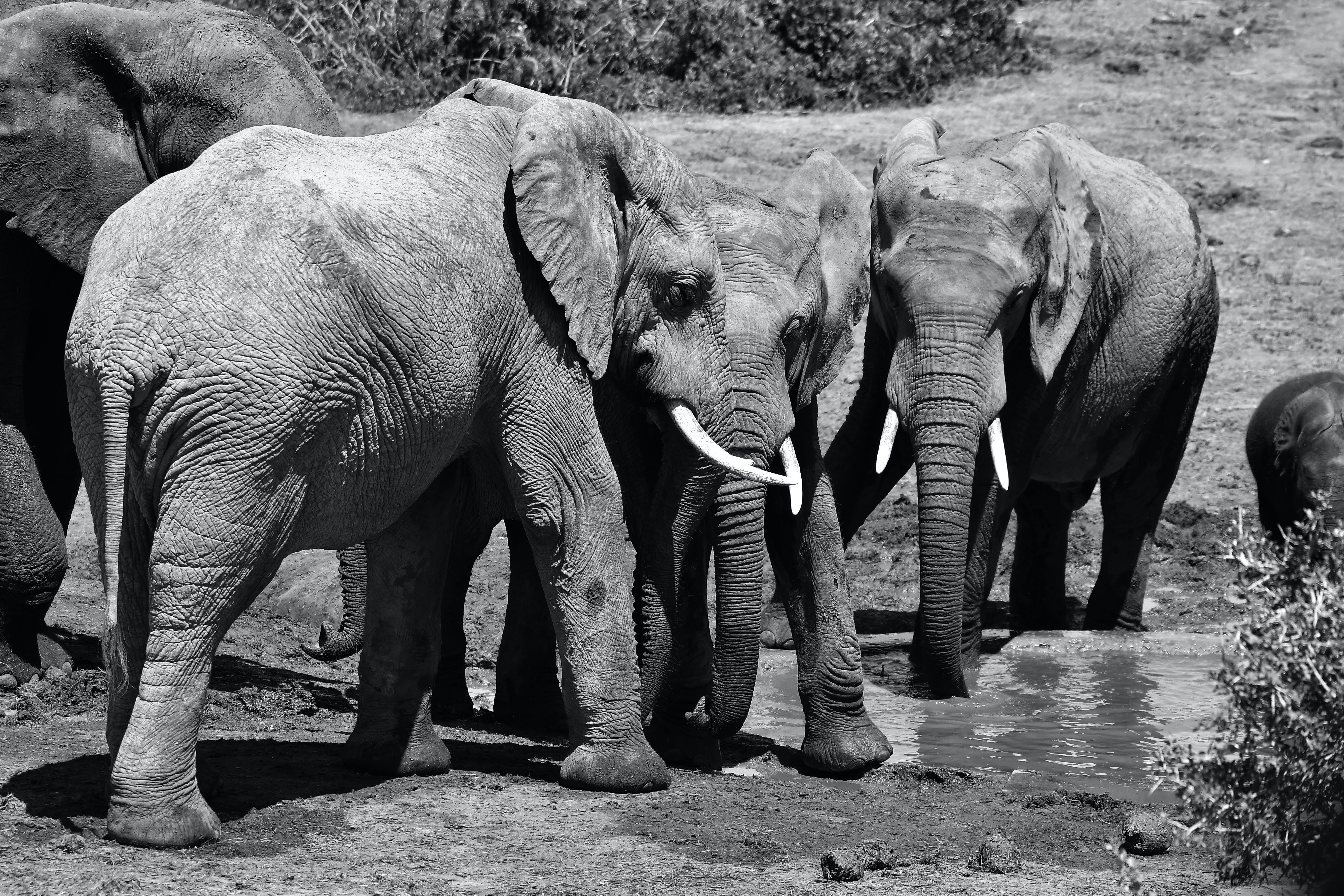 Grayscale Photo of Four Elephants