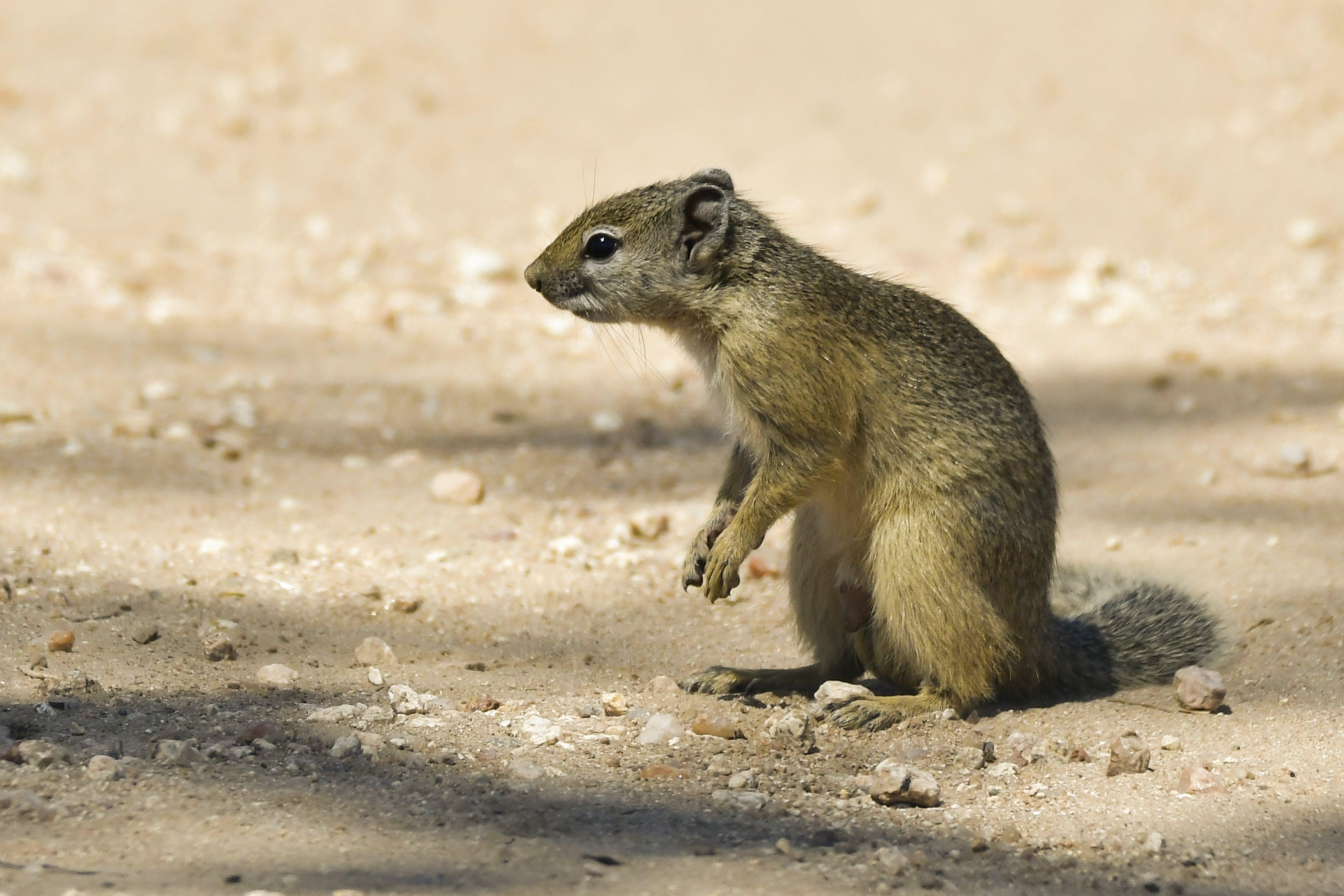 Free stock photo of squirrel, wild, wild animal