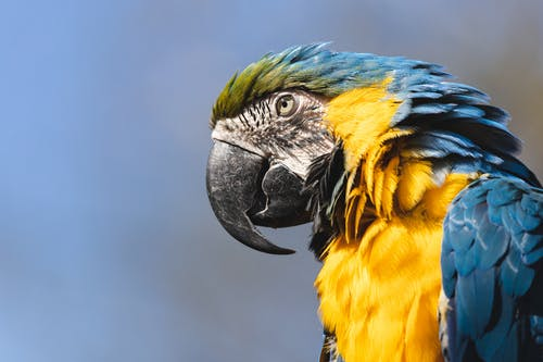 Blue Yellow and White Macaw