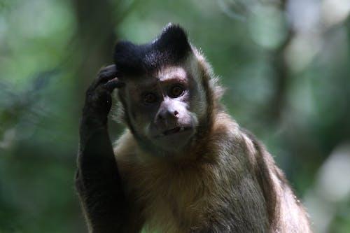 Gratis stockfoto met aap, bedenken, beest, bokeh
