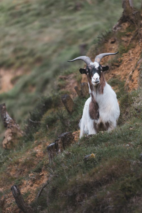 White and Brown Goat on Green Grass