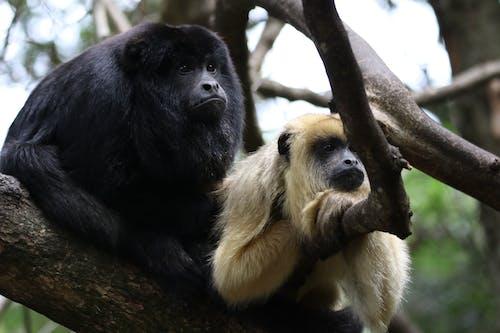 Gratis lagerfoto af abe, behåret, close-up, dyrefotografering