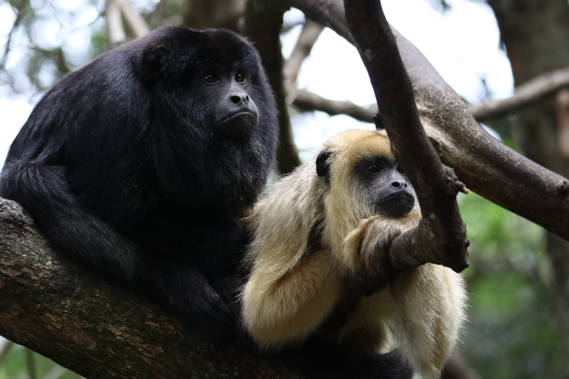 Two Monkey in Branch of Tree Photo