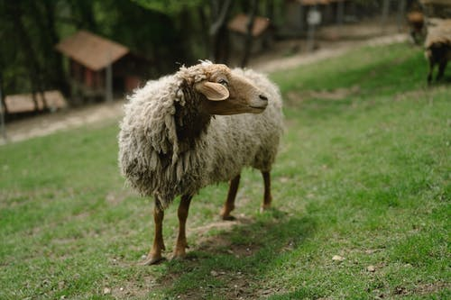 White Sheep on Green Grass Field
