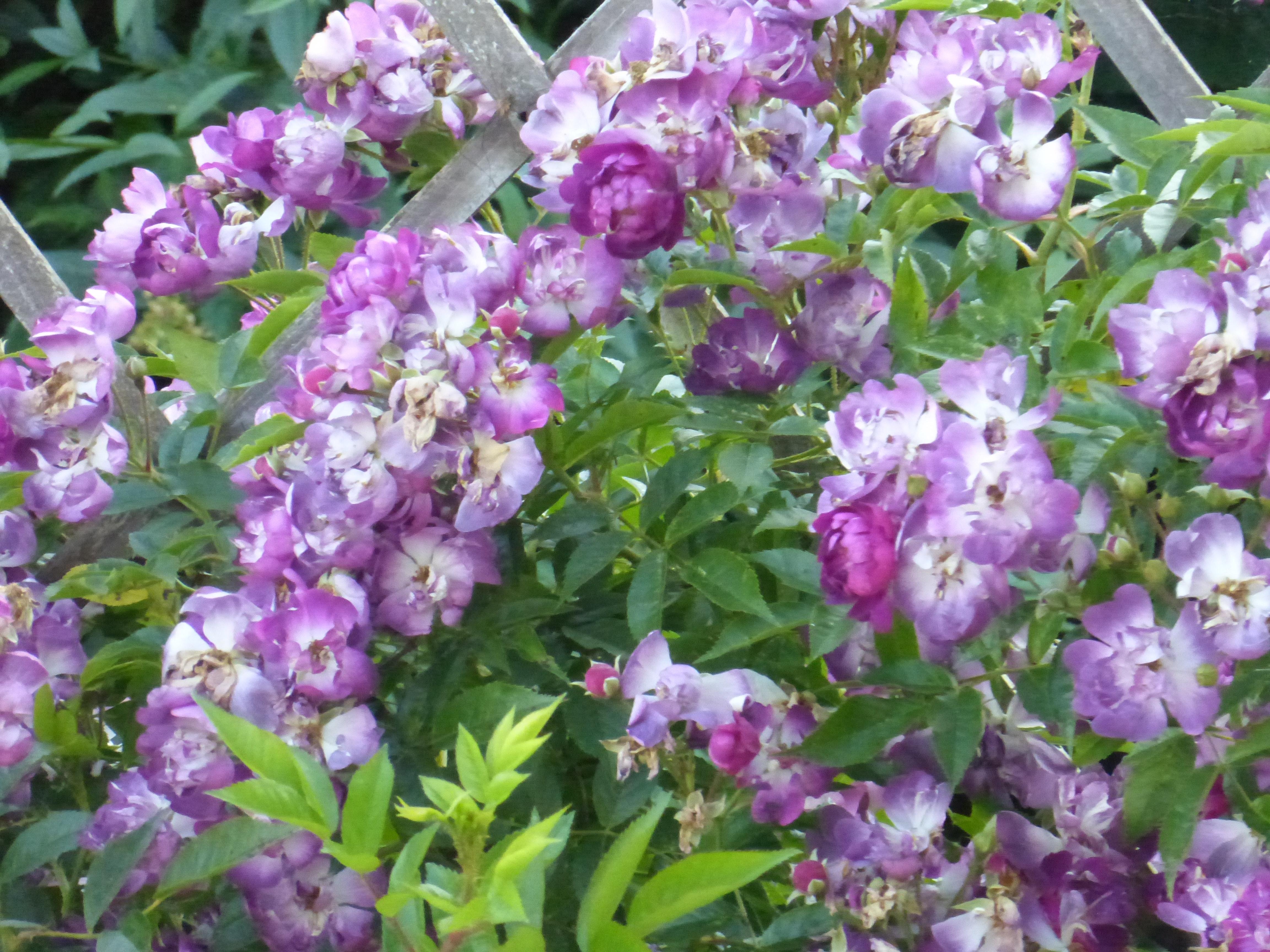garten blumen lila, free stock photo of blumen, garten, lila, Design ideen