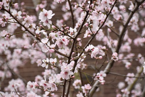 Free stock photo of apricot, blooming, blossoms