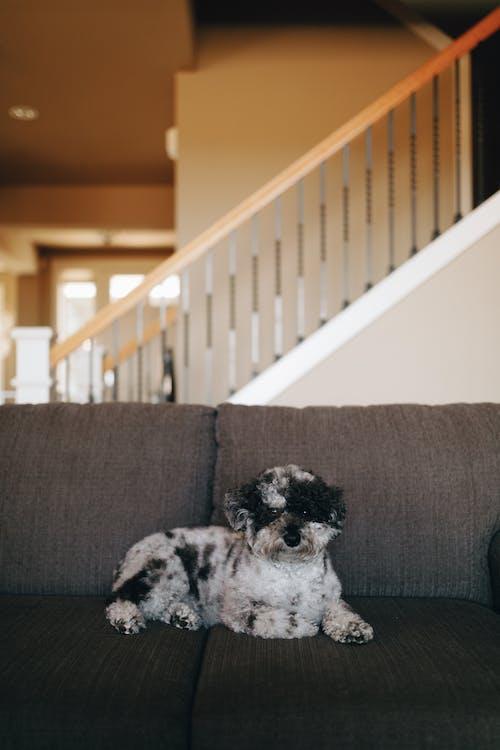 Black and White Long Coat Small Dog on Grey Sofa