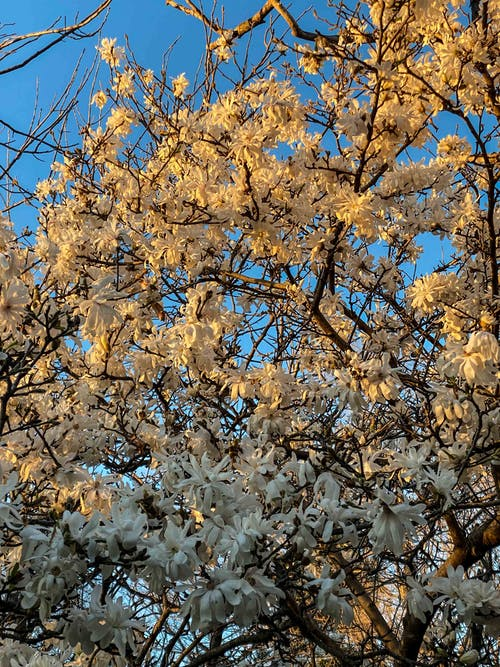 From below of blooming aromatic tree with gentle white flowers growing in park against cloudless blue sky on sunny spring day