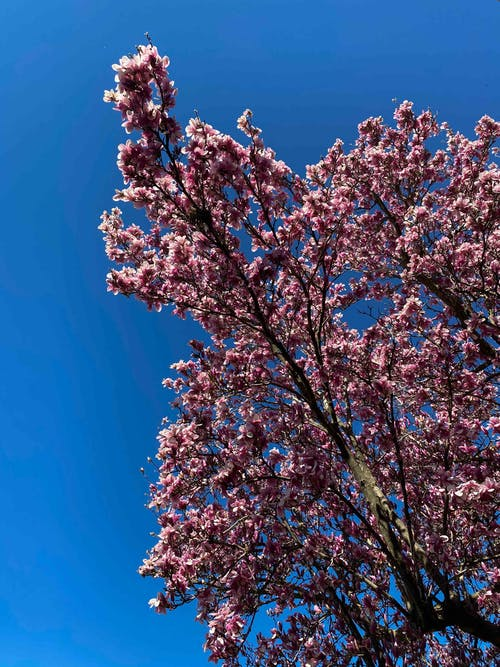 Blooming sakura tree with pink blossoms under blue sky