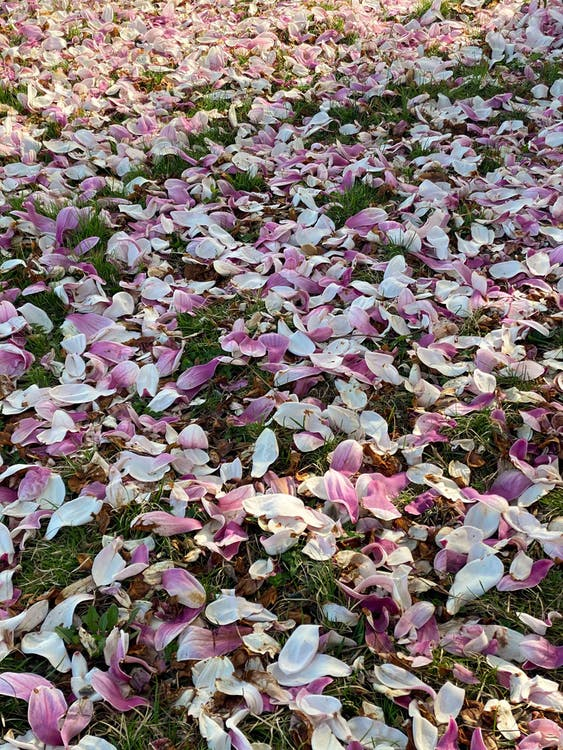 From above of grassy meadow covered with fallen gentle aromatic petals of magnolia tree on sunny day