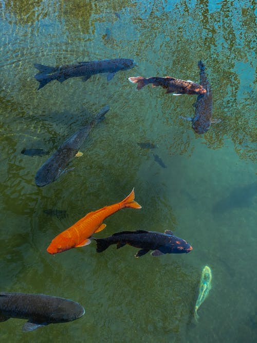 Orange Fishes in Body of Water