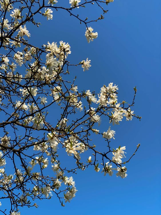 Blooming tree branches of Magnolia stellata tree under cloudless blue sky