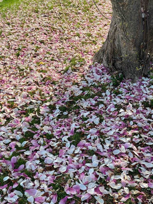 From above of fallen pink and white petals of flowers placed around tree in sunny day