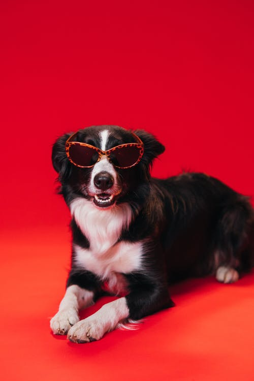 Black and White Border Collie Puppy Wearing Sunglasses