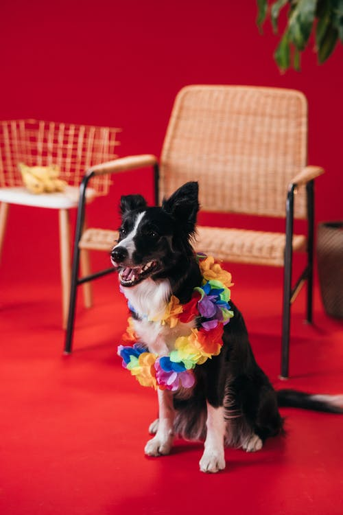 Black and White Border Collie Wearing Pink and Green Ribbon Sitting on Red Carpet