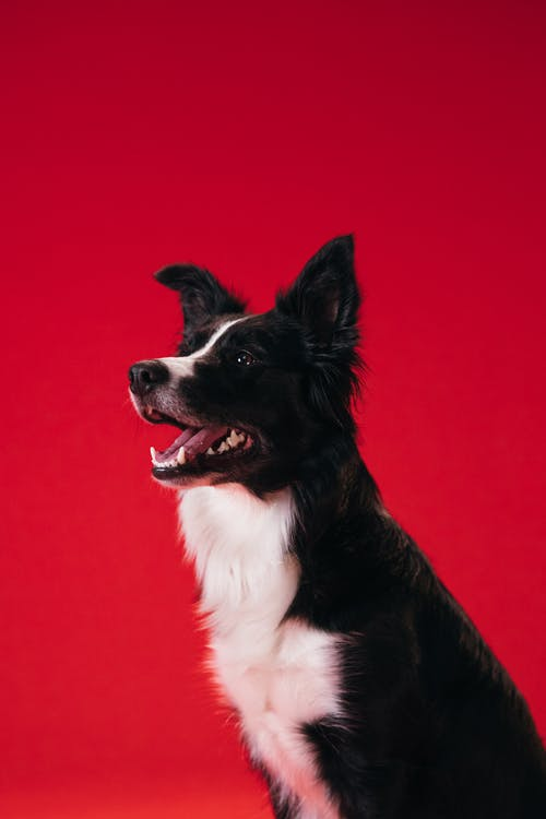 Black and White Border Collie