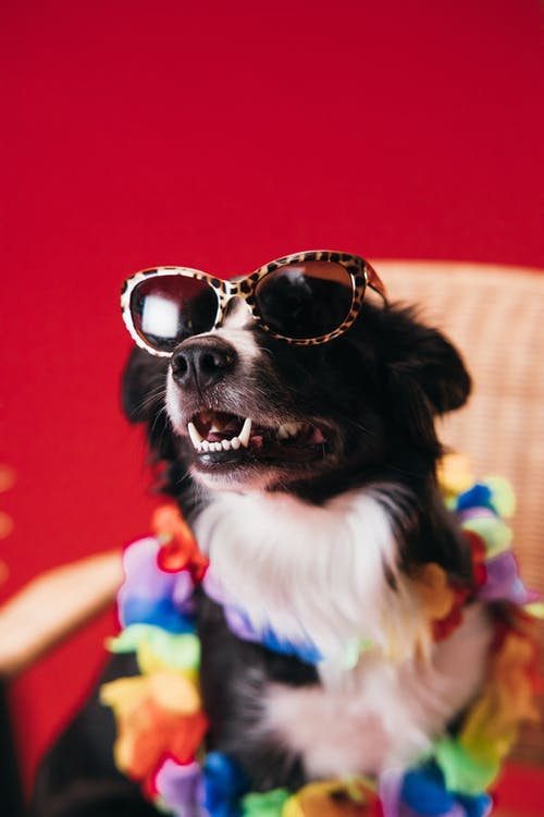 Close-Up Photo of a Border Collie Wearing Sunglasses