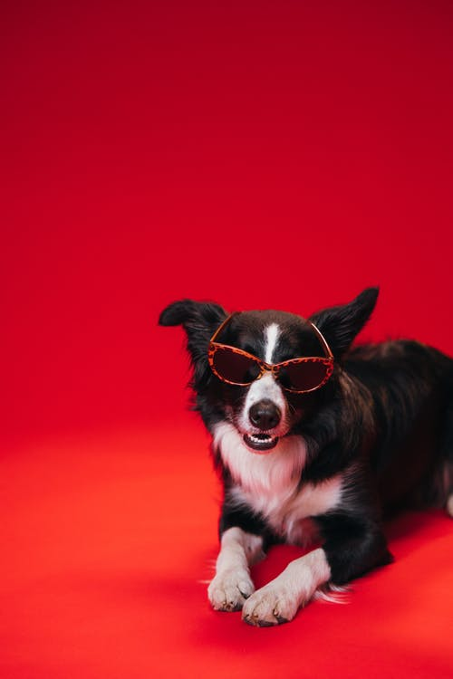 Black and White Border Collie Wearing Brown Sunglasses
