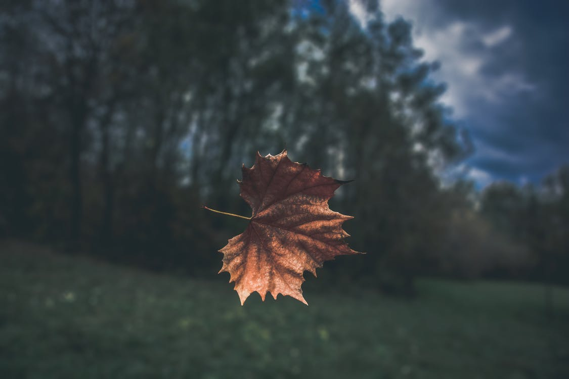 ahorn, baggrund, blad
