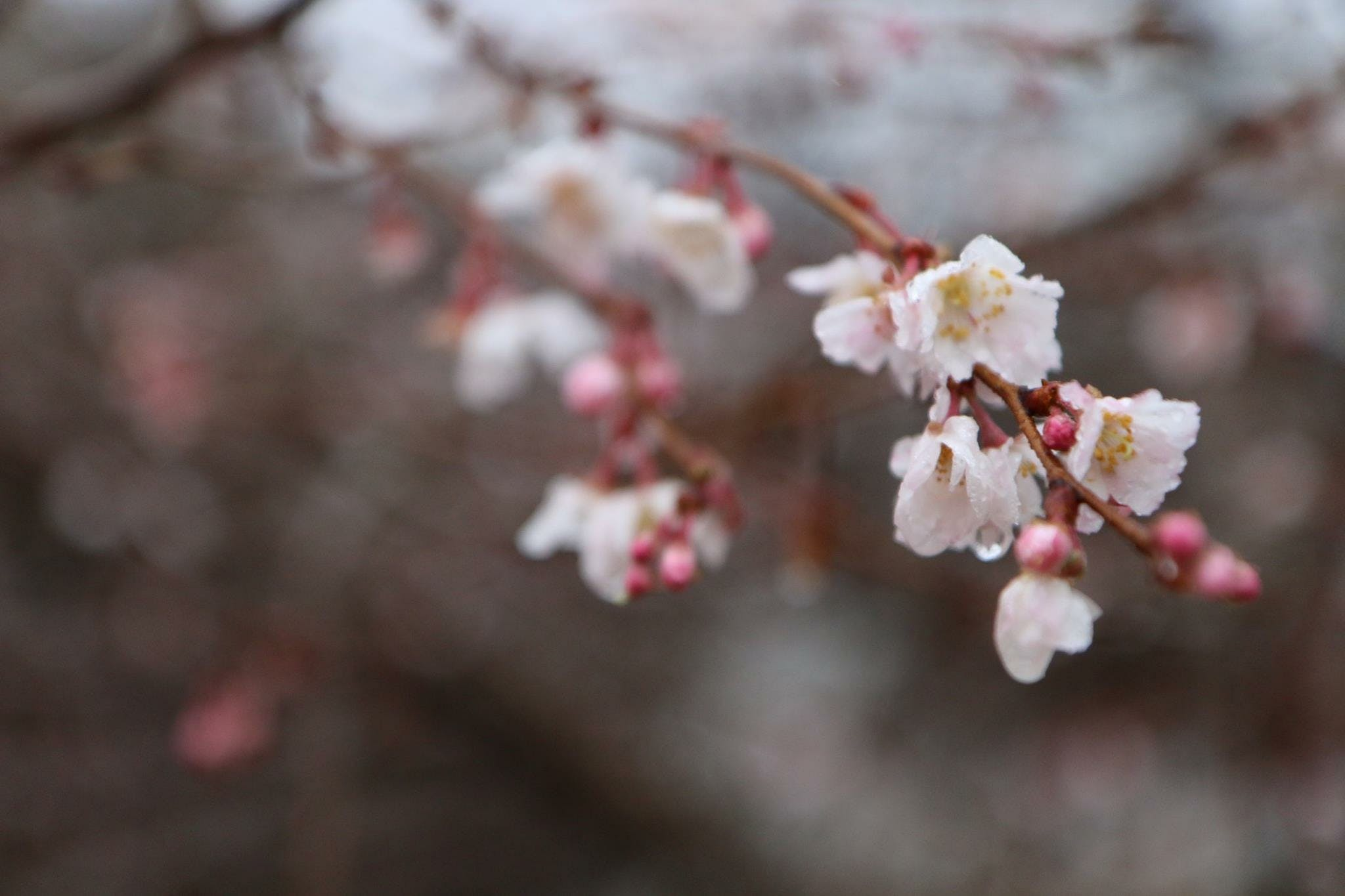 Free stock photo of beautiful flowers, branch, branches, cherry blossom