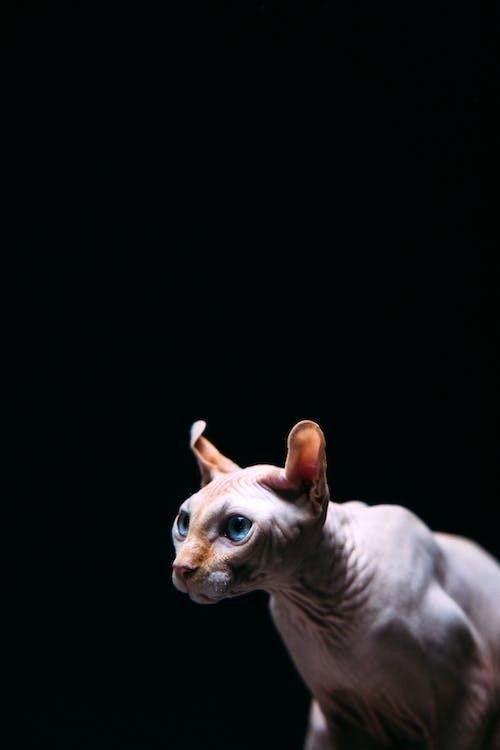 Foto d'estoc gratuïta de amant del gat, animal, felí