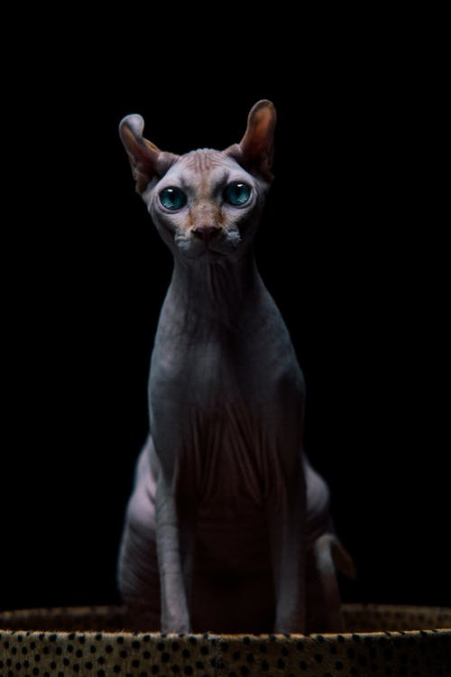A Blue-Eyed Sphynx Cat