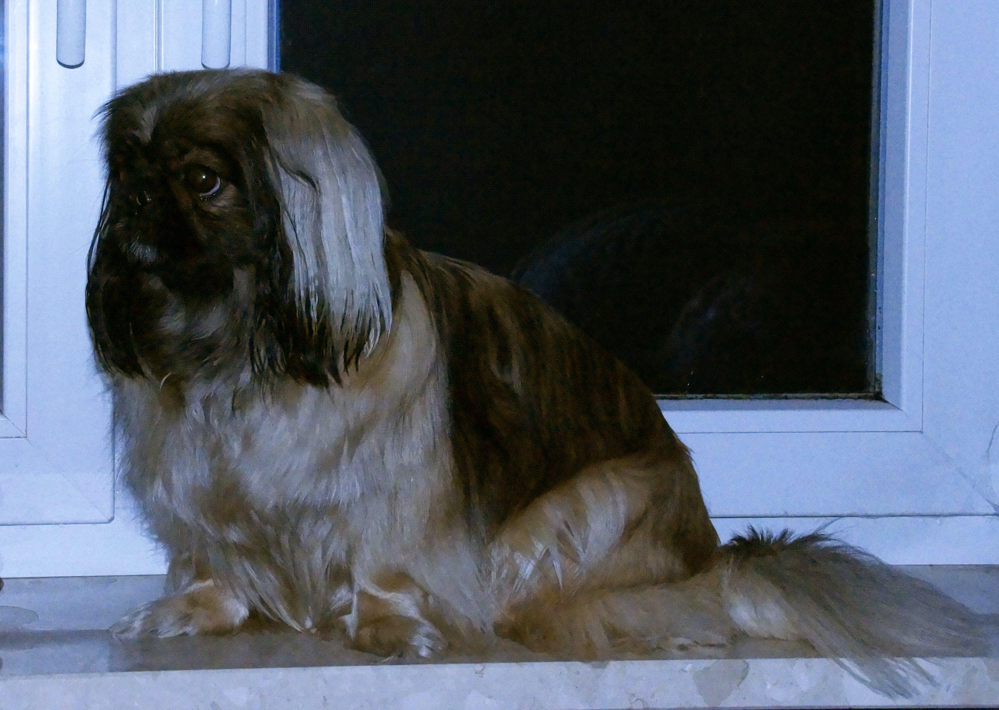Free stock photo of dog, pet, pekingese