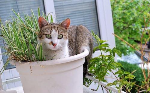 Darmowe zdjęcie z galerii z kot w doniczce, trawa kota