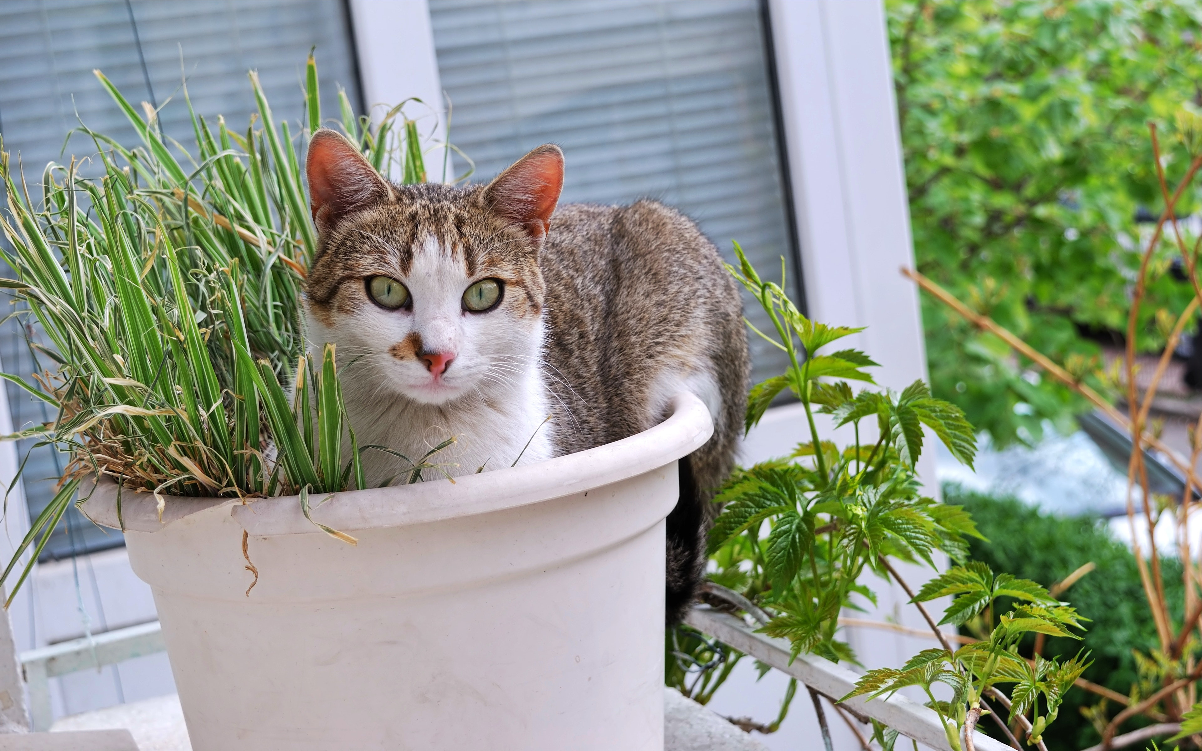 Free stock photo of cat grass cat in the pot window