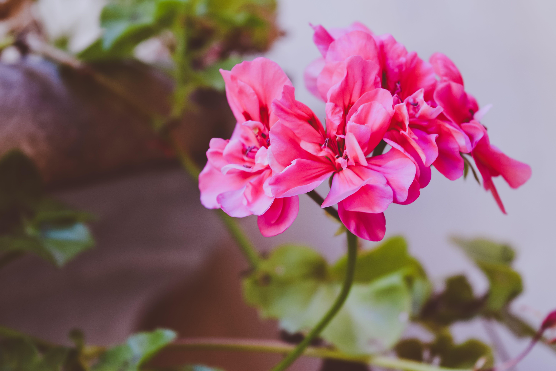Pink Clustered Flower