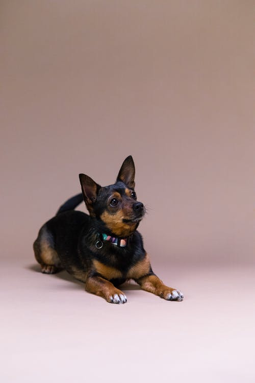 Black and Tan Miniature Pinscher Puppy
