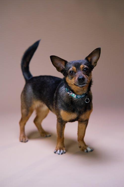 Black and Tan Short Coat Small Dog