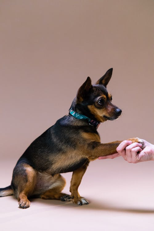 Black and Tan Short Coated Dog