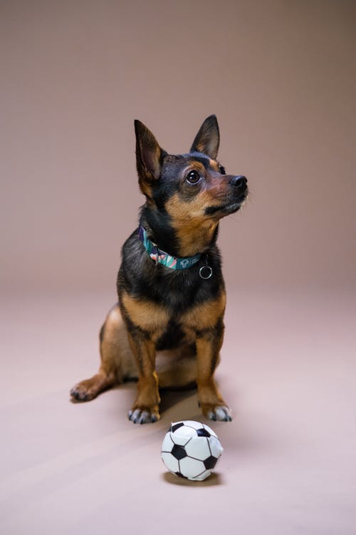 A Black and Tan Dog Playing with a Soccer Ball