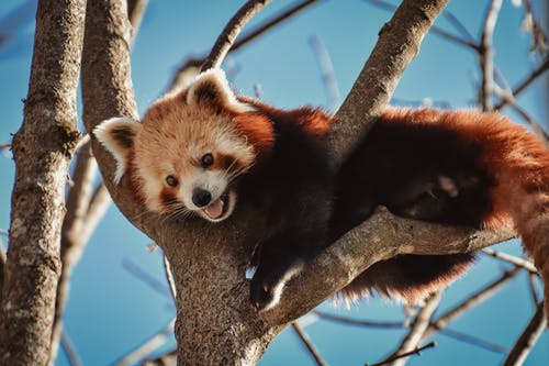 A Cute Furry Red Panda Climbing on Tree Branches