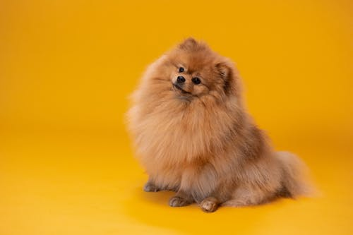 Brown Pomeranian Puppy on Yellow Textile