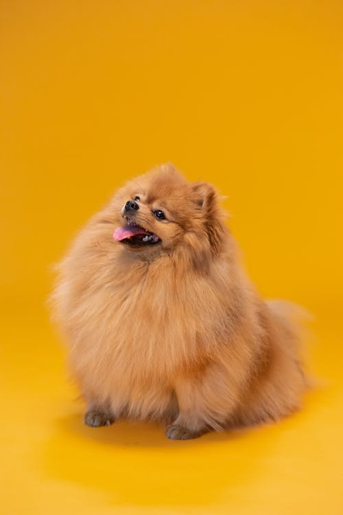 Brown Pomeranian Puppy on Yellow Background