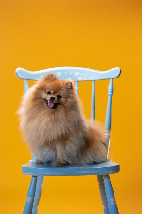 Brown Pomeranian Sitting on Blue Chair