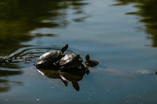 Red-Eared Turtles on the Pond
