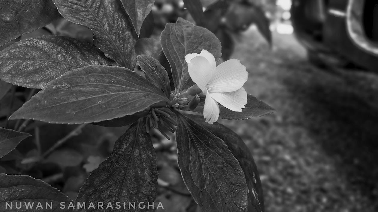 Foto De Stock Gratuita Sobre Blanco Y Negro Flores Bonitas