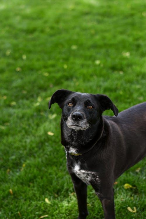 Black Short Coat Medium Sized Dog on Green Grass Field